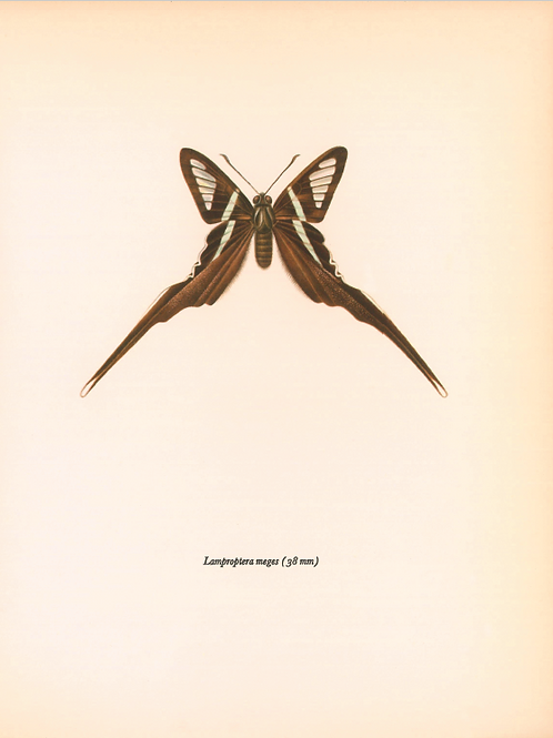 Butterflies - Lamproptera Meges