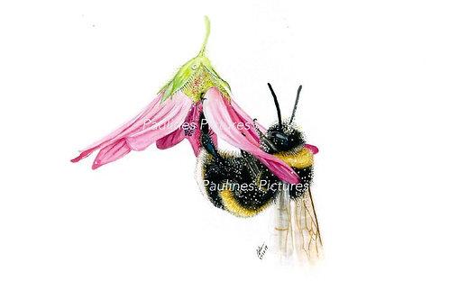 Bumblebee In Lavetera