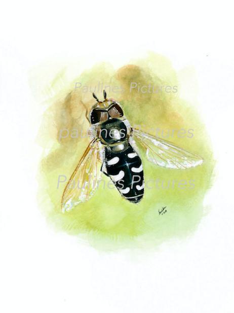 The Pied Hoverfly Scaeva pyrastri