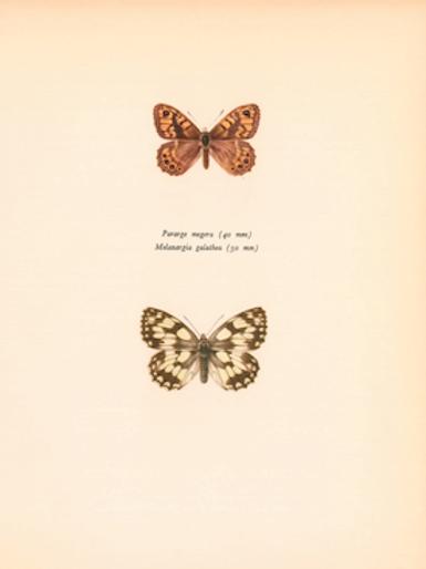 Butterflies - Pararge Megera