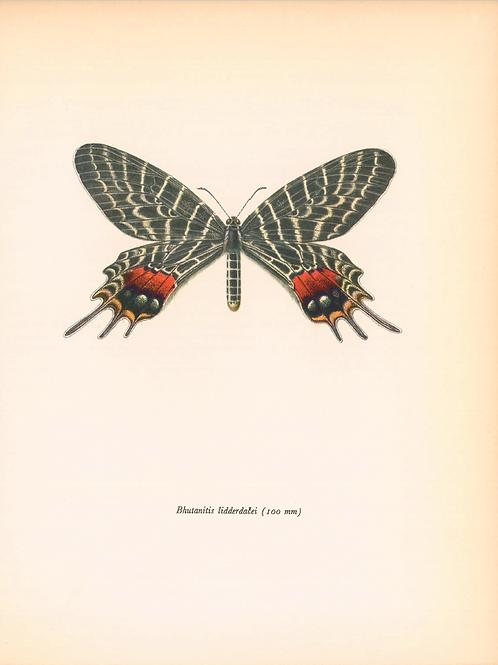 Butterflies - Bhutanitis Lidderdalei