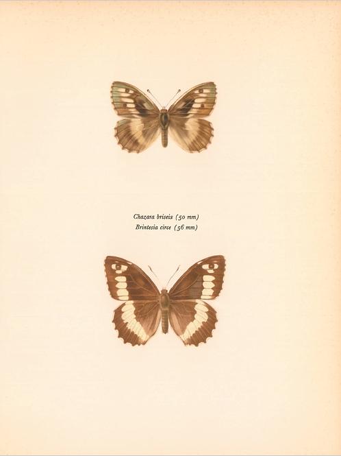 Butterflies - Chazara Briseis