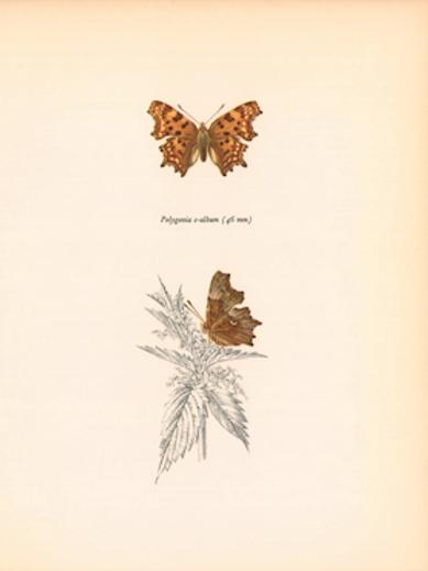 Butterflies - Polygonia C-Album