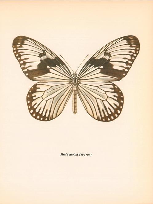 Butterflies - Hestia Durvillei