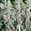 Thumbnail: Stachys byzantina Seeds