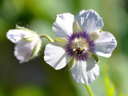 Geranium phaeum Wendys Blush