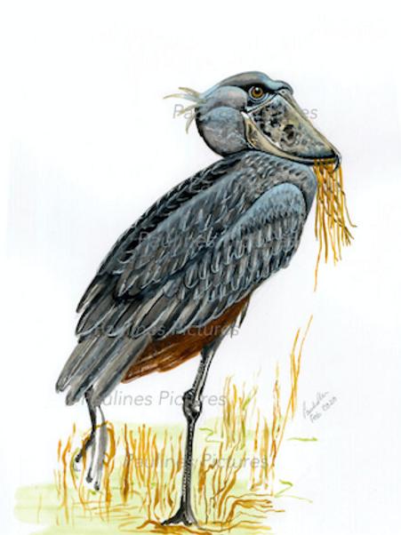 The Shoe Billed Stork