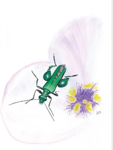 The Thick Legged Flower Beetle Oedemera nobilis