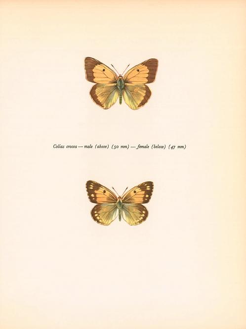Butterflies - Colias Crocea