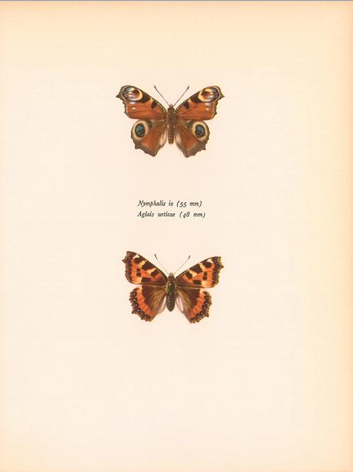Butterflies - Nymphalis Io