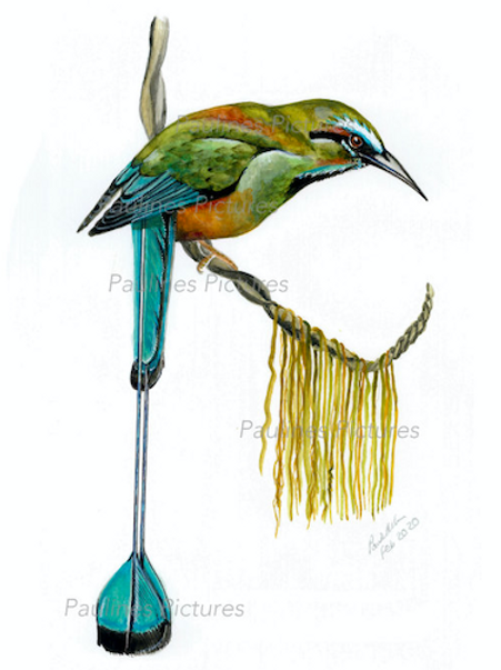 A Turquoise-browed Motmot
