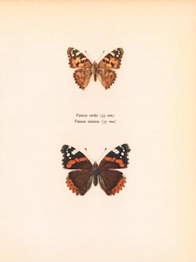 Butterflies - Venessa Cardui