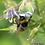 Thumbnail: Geranium phaeum Wendys Blush