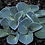 Thumbnail: Hosta Blue Mouse Ears