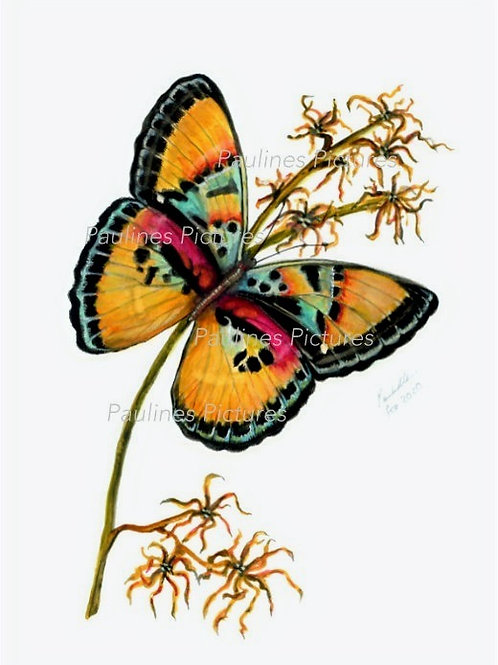 The Western Striped Forester - Euphaedra gausape