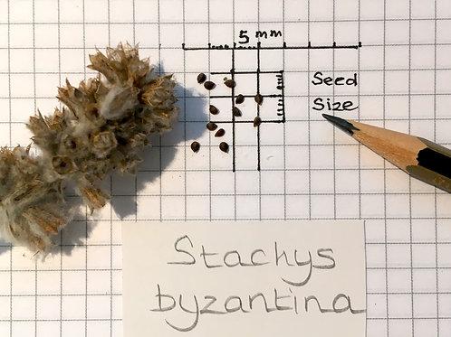 Stachys byzantina Seeds