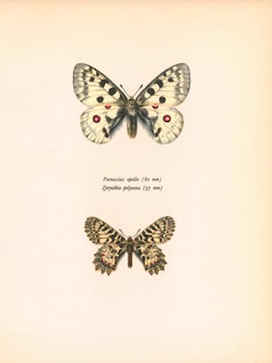 Butterflies - Parnassius Apollo
