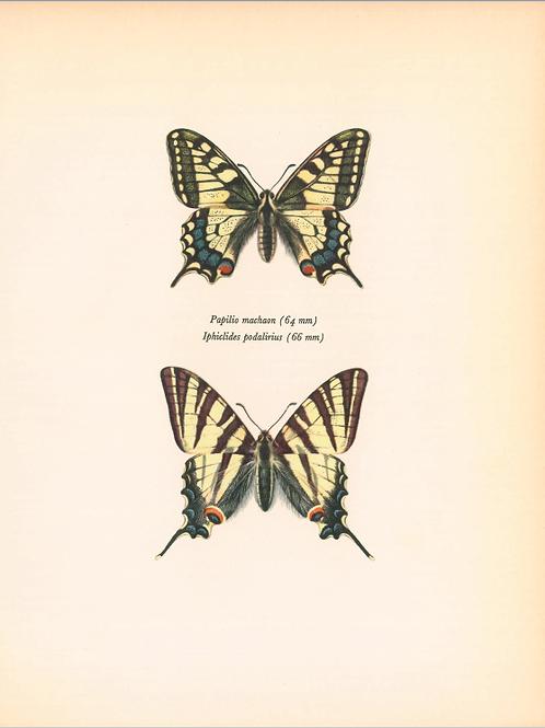 Butterflies - Papilio Machaon