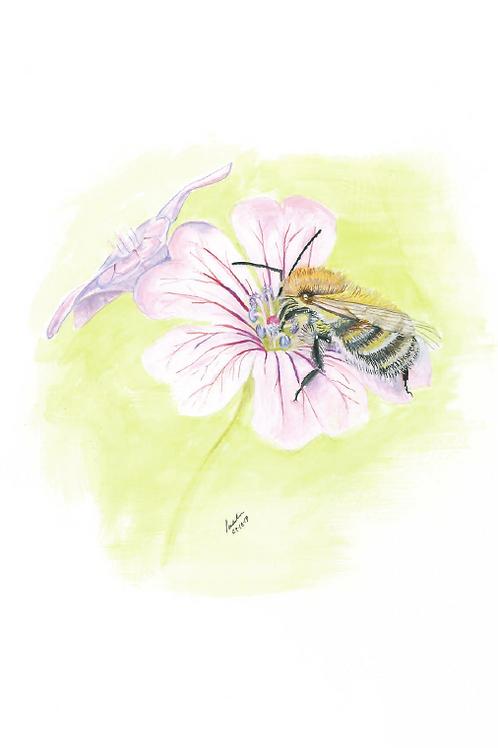 Common carder bee Bombus pascuorum