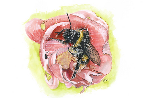 Buff-tailed bumblebee Bombus terrestris in Hollyhock