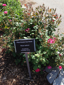 Pink Knock Out Rose Sign