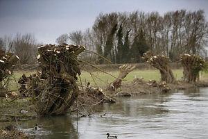 buscot cut trees.jpg