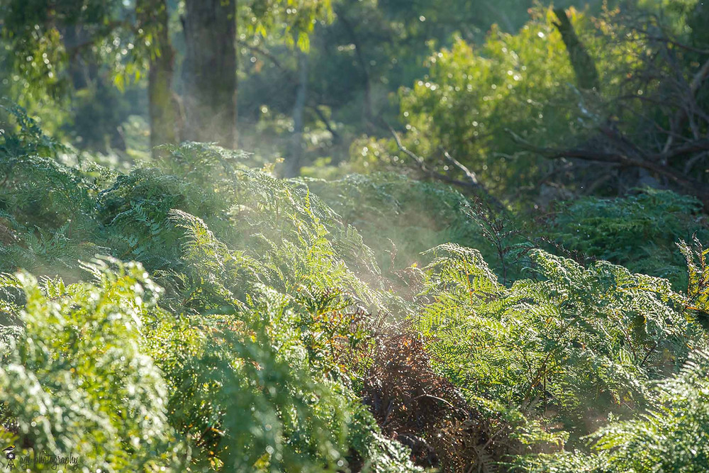 Bushy understory with fog