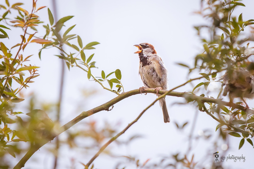 A House Sparrow singing on a branch