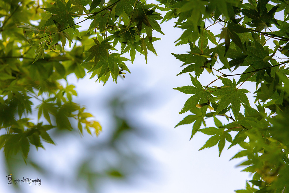 Green foliage of a Japanese Maple
