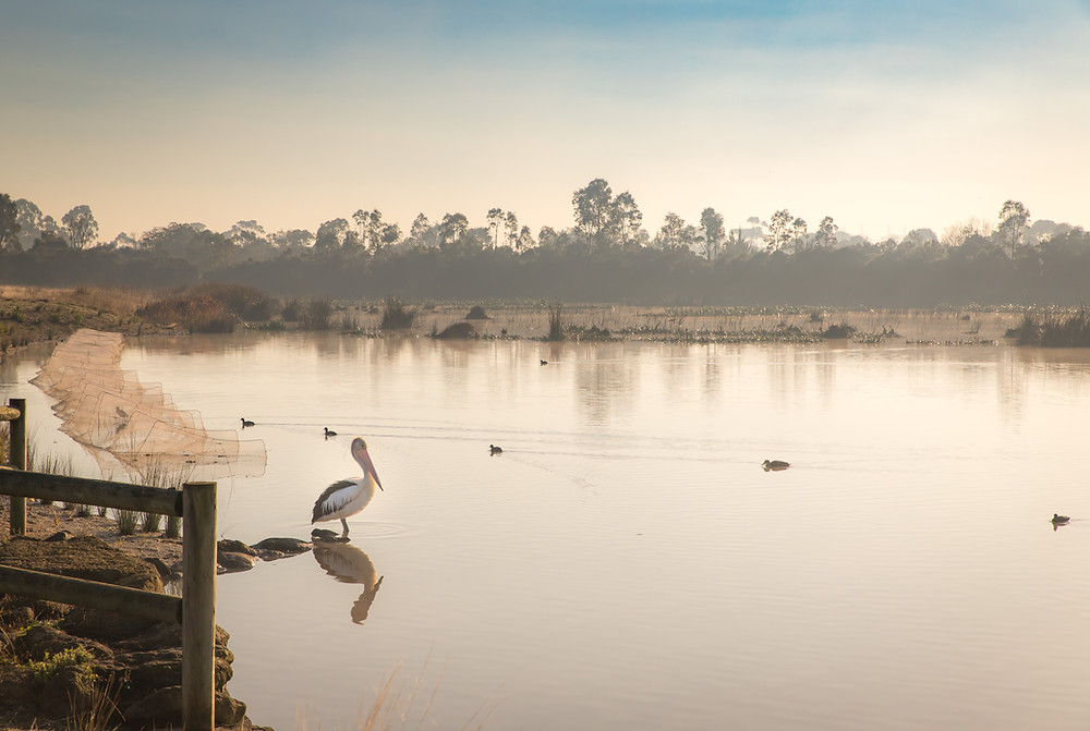 A pelican stands in a shallow part of a lake while a row of 6 ducks swim past. Fog clouds the trees and faintly blue sky in the background.