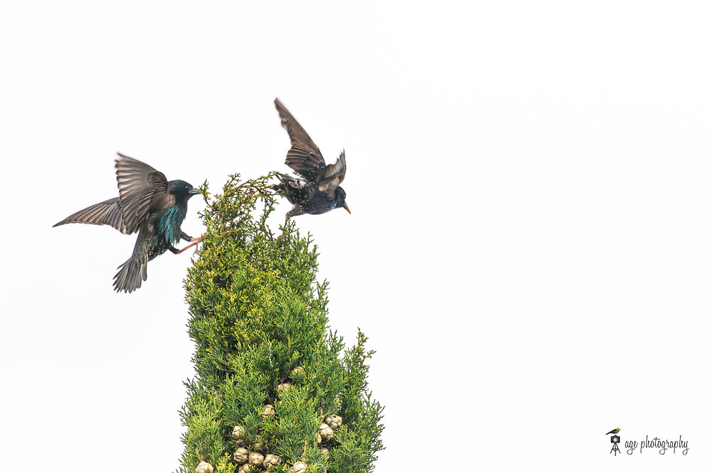 An European Starling guarding its territory