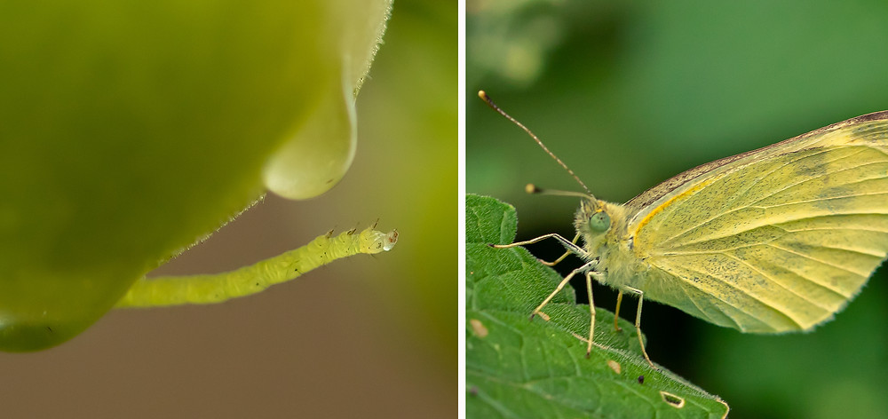 Small white cabbage butterfly and caterpillar