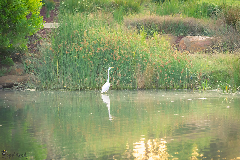 Egret enjoying a quiet morning