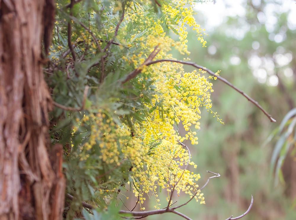 Yellow wattle flowers blooming in winter