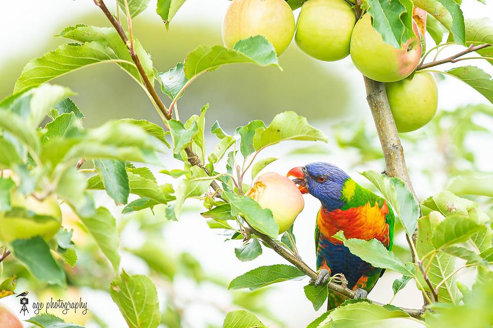 A rainbow lorikeet devouring an apple.