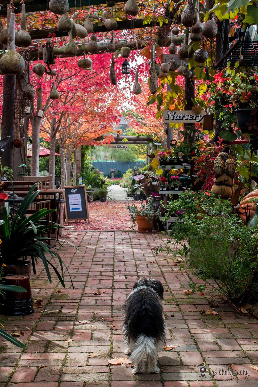 Dog walks towards Alowyn Gardens Nursery