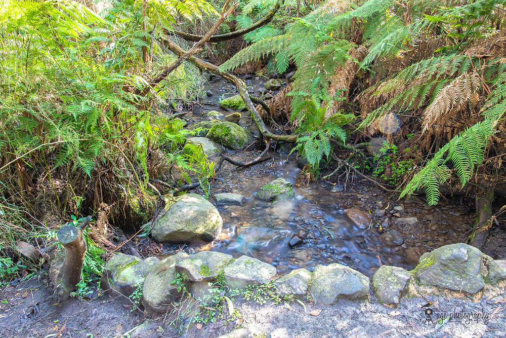 A stream of water is flowing over and around pebbles and rocks. Tree ferns and other shrubs appear on both sides of the stream.