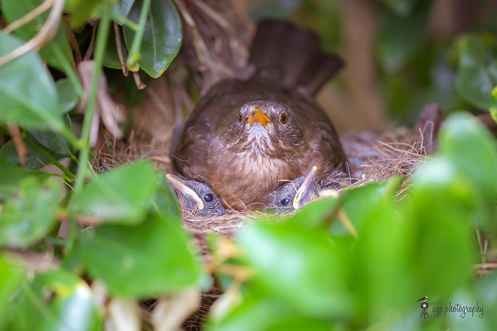 A blackbird keeping her chicks warm.