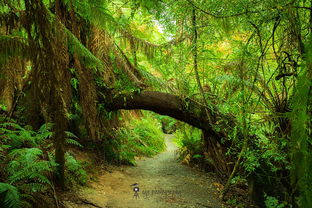 A walking trail in the middle of the image fades into the distance. Small and medium sized ferns surround the trail. The fallen trunk of a tree fern arches over the walking trail.