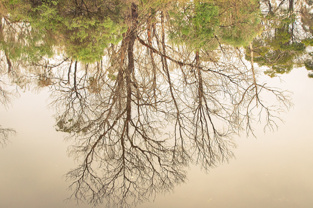 Reflections of bare trees and green shrubs in a lake.