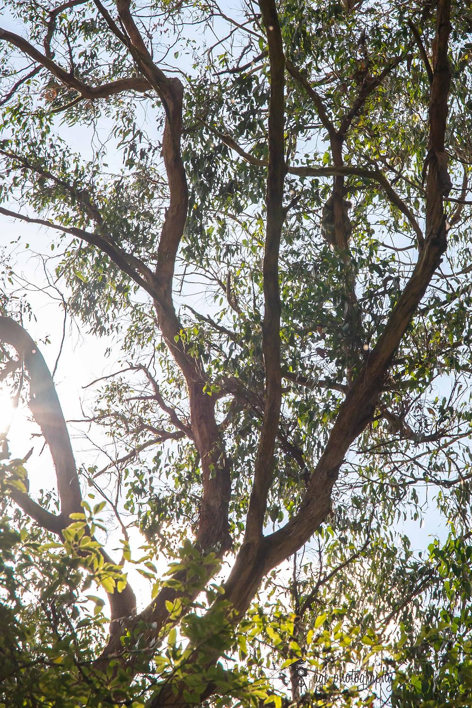 Koala at Morwell National Park