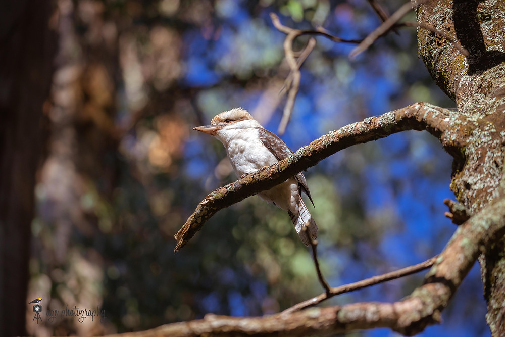 Kookaburra is sitting on a tree branch looking out to its front.