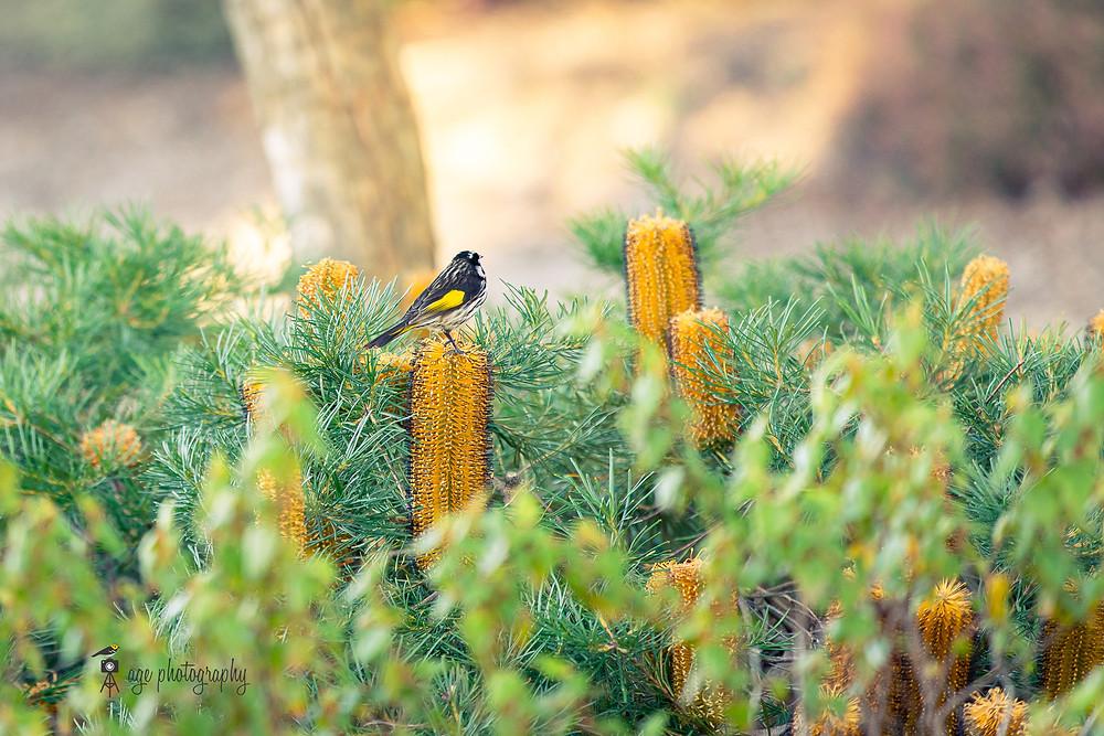 New holland honeyeater on banksia