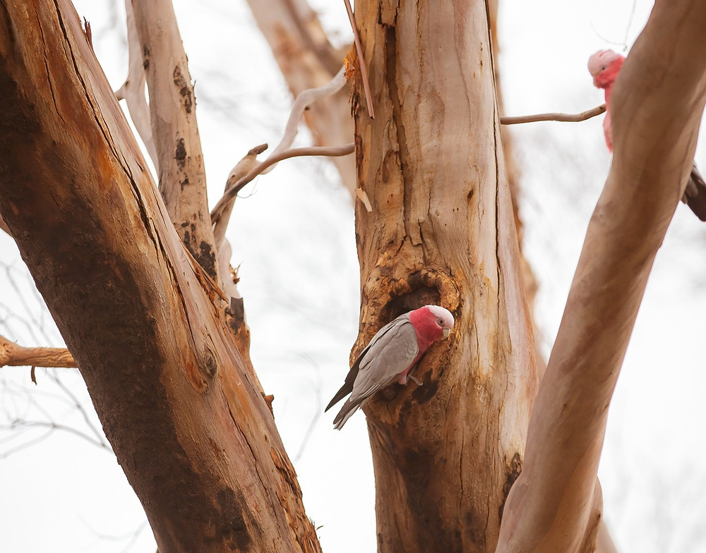 A galah at the entrance of a tree hollow while another galah watches from the adjacent branch