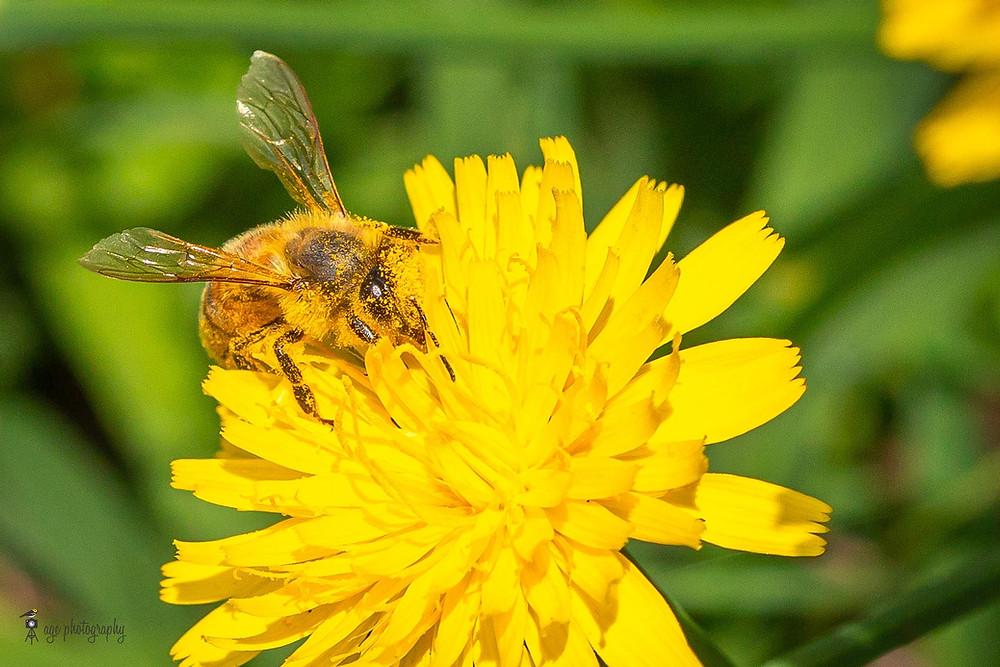 Honeybee covered in pollen