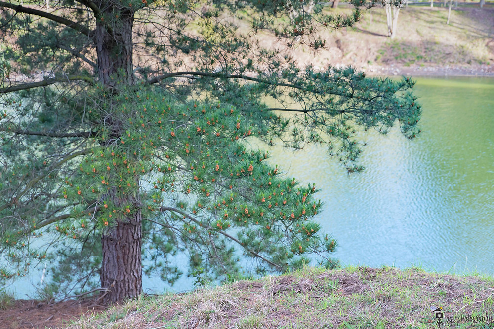 Pine tree with lake in the background