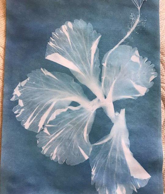 Hybiscus Cyanotype