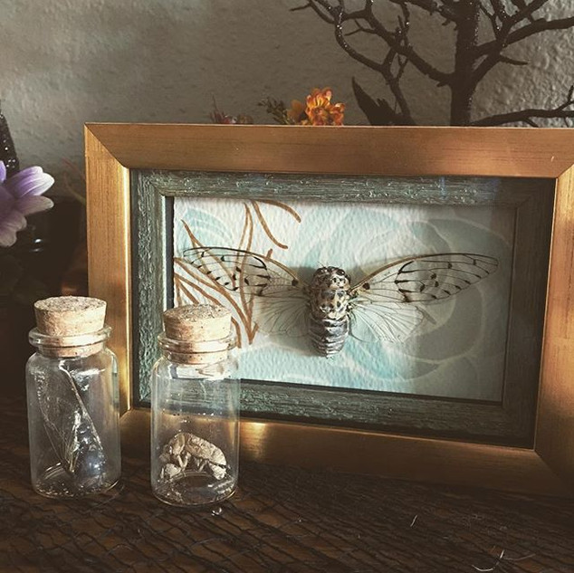 My Cicada collection is growing 🖤#cicad
