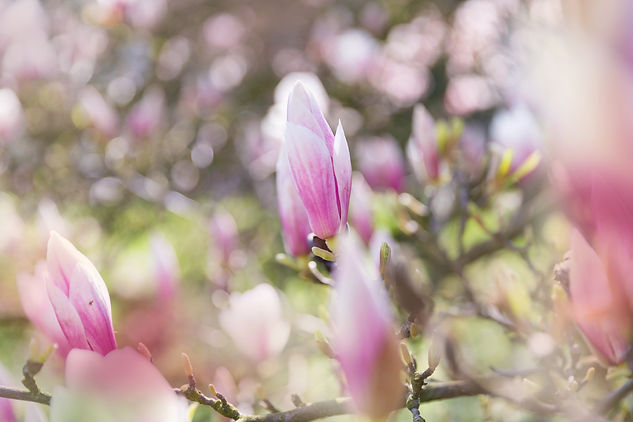 pink-magnolia-PQULEPK.jpg