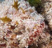 Scorpian Bonaire.jpg